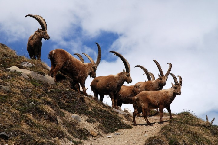 kahtours ibex and blue sheep hunting hunza shimshal valley gilgit baltistan